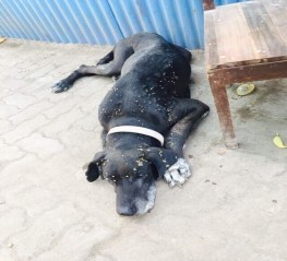 Timber needs help -8 years old great dane dumped
